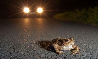 Kröte im Autoscheinwerferlicht