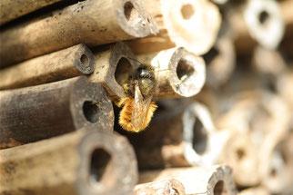 Gehörnte Mauerbiene an Bambusröhren (Foto: Roland Steinwarz)