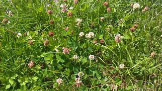 Wird gerne von Bienen und Schmetterlingen besucht: Weiß-Klee (Foto: R. Steinwarz)