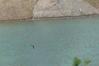 Uferschwalbe am Kielsgraben,   13. 6.2017, Foto: H. Grote