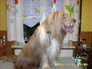Malcom  (Bearded Collie) mit total verfilztem Fell
