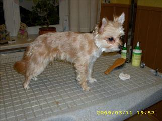 Eyla ((Chihuahua) mit der Schere in Form geschnitten