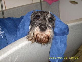 Thea (Mittelschnauzer), Herrchens Liebling nimmt ein Bad
