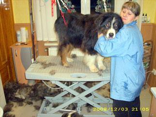 Djuk (Australian Shepherd), hier beim Auskämmen