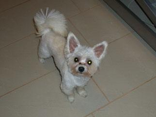 Tobi (Chihuahua) gebadet und geschoren