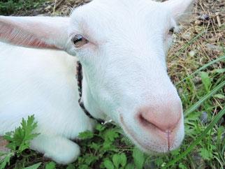 あけましておめでとうございます。今年は山羊年では…ないですか。
