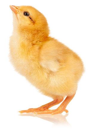 Die Huhn und Hahn Initiative unterstützt die Aufzucht der männlichen Küken