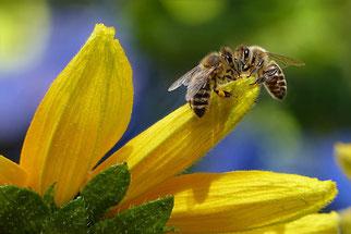 Deux abeilles butineuses avec du pollen sur une fleur de courge