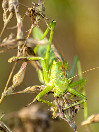 Grünes Heupferd (Bild: NABU BW)