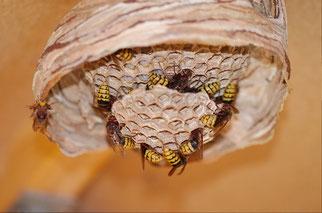 Nest der Europäischen Hornisse (Vespa crabo) - (c) NABU A.Schneider-Bujack