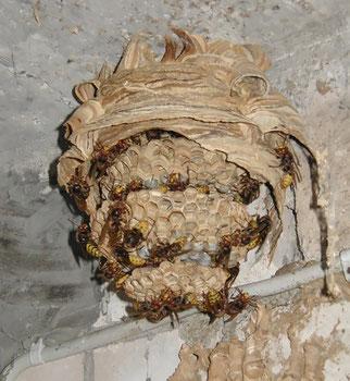 Nest der Europäischen Hornisse (Vespa crabo); Nesthülle entfernt - (c) NABU P.Tauchert