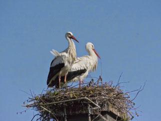 Das neue Paar auf dem still gelegten Kamin. Das haben Sie super gemacht! Vorne der beringte Storch (© Ulrich Fischer, NABU Neustadt)