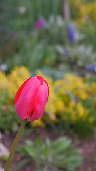 Vorstadtgarten, Blumengarten, Tulpe, Frühling