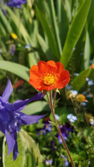 orange Blume, violette Blume