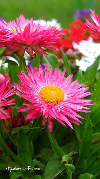 aster, rosa aster, rosa blume