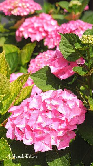 rosa blumenwiese