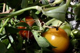 オーガニック 無農薬野菜 トマト