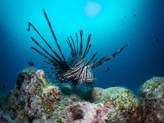 Lion Fish, Pulau Weh