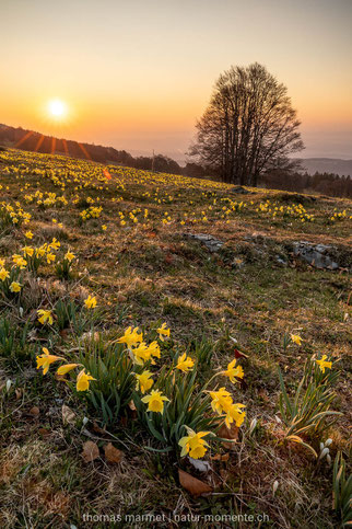 Aprilglocke, gelbe Narzisse, Osterglocke, Jura