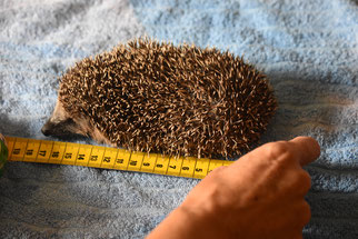 Mit 300g ist er mit eingezogenem Kopf ca. 14 cm lang und offen etwa 17 cm. Foto: NABU Metzingen / Waltraud Hoyer