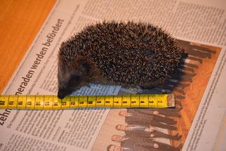 Mit 200g ist das Igelkind ungefähr 12 cm lang. Foto: NABU Metzingen / Waltraud Hoyer