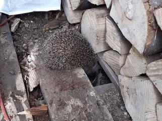 Dieser Igel hat einen prima Winterschlafplatz unter der Palette eines Holzstapels. Foto: Tobias Mayer