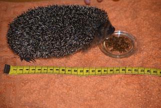 Jetzt wiegt der Igel 400g und ist ca. 18 cm lang (Vergleichen Sie das WECK-Glasdeckelchen!). Foto: NABU Metzingen / Waltraud Hoyer