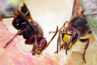 Hornissen fressen an einem Apfel. Foto: NABU / Helge May