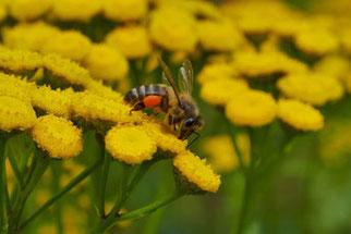 Foto: Honigbiene auf Rainfarn, Stefan Kress / NABU Stuttgart