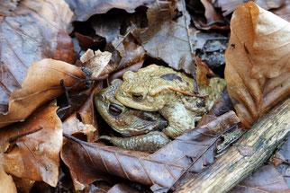Foto: Erdkrötenpaar, H. Walter