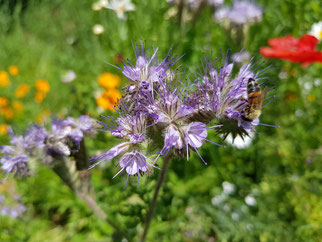 Foto:  Natternkopf mit Wildbiene, G. Maas