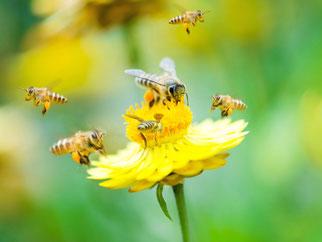 bijen verzamelen stuifmeel