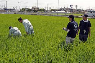JAさがみの職員さんが稲の草丈や株数などを計測し、それを泉橋酒造・栽培醸造部の犬塚晃介さんが記録しています。