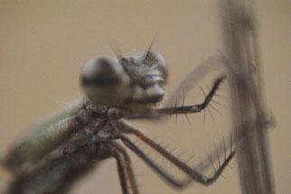 Beine der kleinen Binsenjungfer (Kleinlibelle)