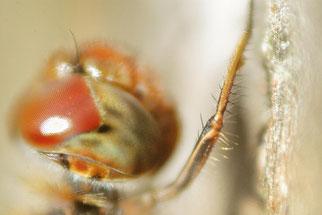 Beine der Heidelibelle (Großlibelle)