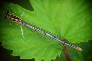 Bei diesem Weibchen fehlt auf der linken Seite das mittlere Bein. Das geschieht häufig im Larvenstadium.