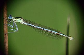 Bei diesem Weibchen sieht man eine weitere Farbvariante. Blaue Augen und grünlicher Torso.