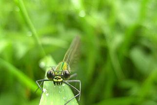 Kleinlibellen: weit auseinanderliegende Augen