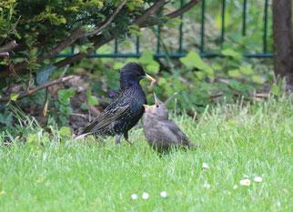 Foto: (NABU/M. Link) Star mit Jungvogel