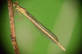 Ein junges Weibchen, bei dem der Körper an den später weißen Stellen, wie Beine und Abdomen, noch rosa ist.