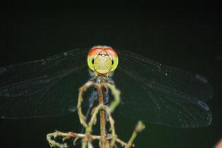Großlibellen: eng beieinander liegende große Augen