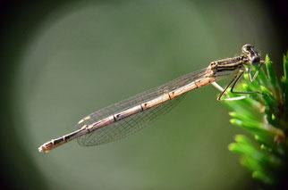 Bei diesem ausgefärbten Weibchen scheint die Sonne durch einen Teil vom Hinterleib. Hier sieht man, dass die schwarze Zeichnung nicht so flächendeckend ist, wie weiter oben bei den dort abgebildeten Libellen. Die Körperfärbung ist braun dominiert.