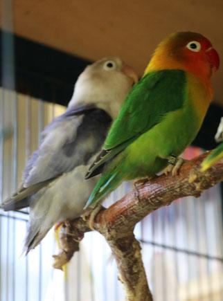 llins: violette Schecken-Henne, rechts: naturfarbiger Hahn