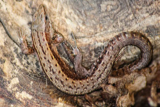 Waldeidechse Zootoca vivipara - Foto: Andreas Schäberle
