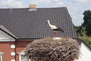 Altstorch im Nest Plissig. Bild: Dr. Bernd Simon