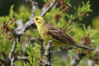 Lebt in offener Landschaft mit Gebüschen und Hecken, an Waldrändern und in Waldlichtungen.