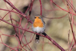 Bewohnt Busch-und Baumbestände alle Art, von dichten Wäldern bis zu Parks und Gärten.