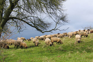 Schafbeweidung im NABU-Schutzgebiet Weinberg Wetzlar - Foto: Hartmut Mai
