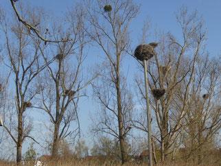 Storchenkolonie bei Berkach, inzwischen sind die Störche nicht mehr auf Nistplattformen angewiesen und bauen selber!