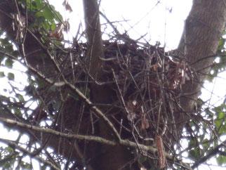 Greifvogelhorst in einer Astgabel